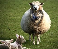Вук Томић као пастир